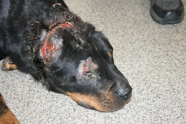 rottweiler beaten to death