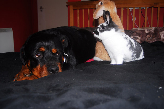 rottweiler with bunnies - 30 Reasons why Rottweilers are Good Pets