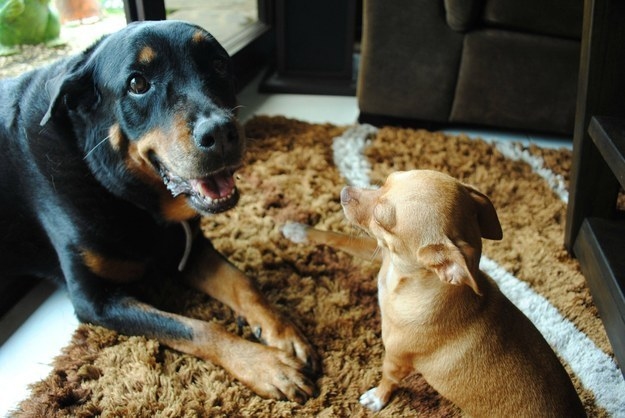 rottweiler with small dog - 30 Reasons why Rottweilers are Good Pets