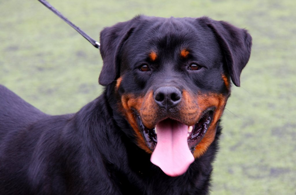 Rottweiler Facts Archives Rottweiler Puppies For Sale