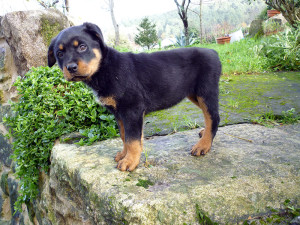 where to get rottweiler puppy