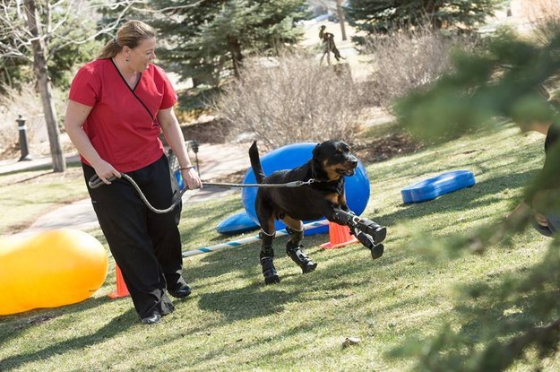 Brutus-Dog with Prosthetic Legs breakthrough