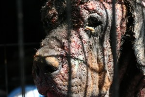 mr. october the rottweiler close up head