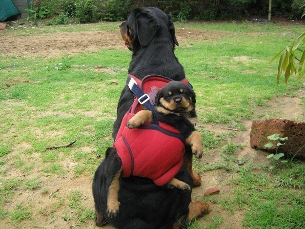 adult rottweiler with puppy on back