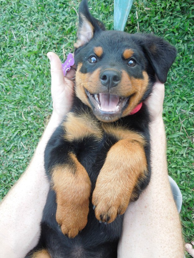 Rottweiler Facts Archives Page 2 Of 2 Rottweiler Puppies For Sale