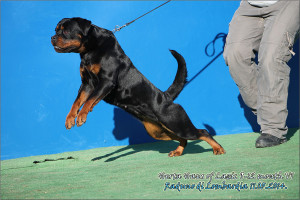 Rottweiler Puppies For Sale In Bosnia - haus of lazic rottweilers