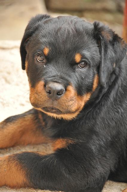 How To Potty Train A Rottweiler Puppy