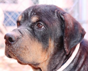Mr. October the Rottweiler healed