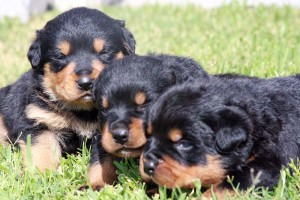 naming your rottweiler
