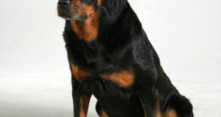 rottweiler defensive aggression