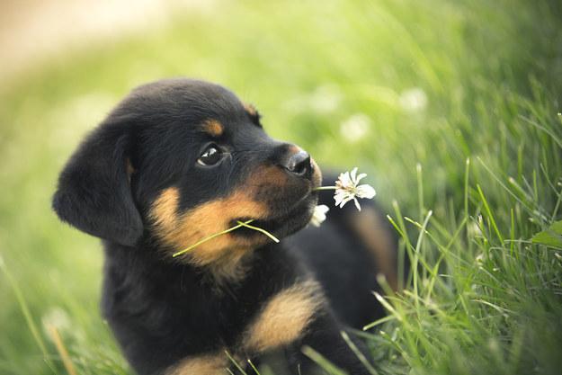 rottweiler eating plants