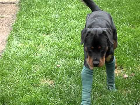 elbow dysplasia in rottweilers