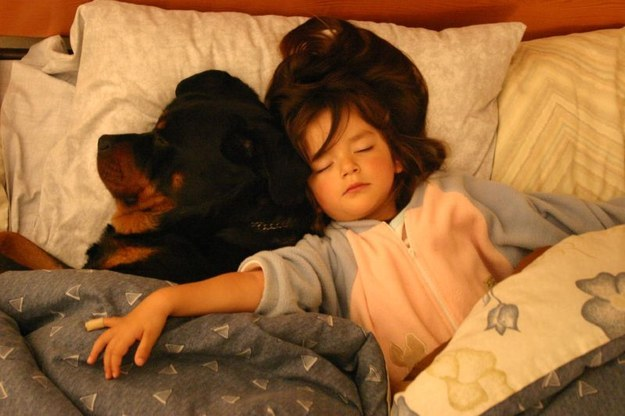 rottweiler in bed