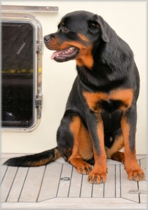 rottweiler pain-elicited aggression