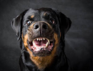 rottweiler protective aggression