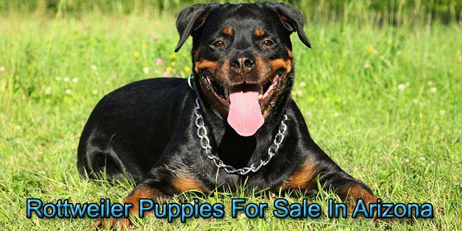 Rottweilers For Sale In Arizona