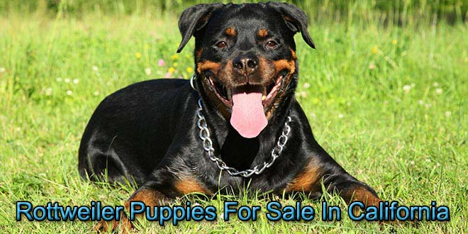Rottweilers For Sale In California