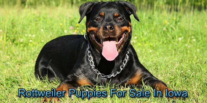 Rottweiler Puppies For Sale In Iowa