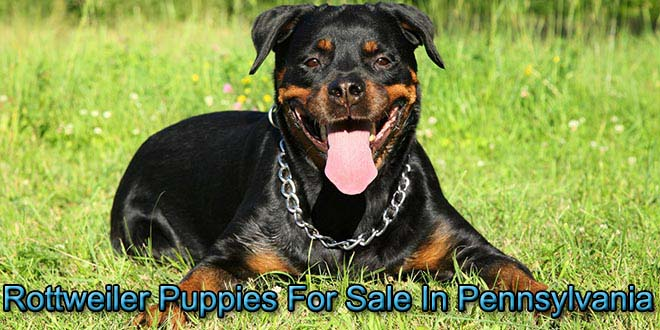 Rottweiler Puppies For Sale In Pennsylvania