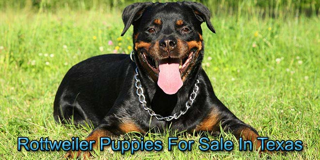 Rottweilers For Sale In Texas