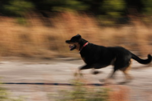rottweiler redirected aggression