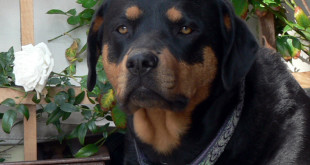 rottweiler sex-related aggression