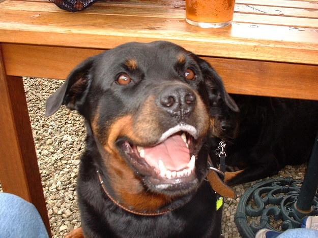 rottweiler smiling