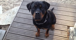 rottweiler socialization other dogs