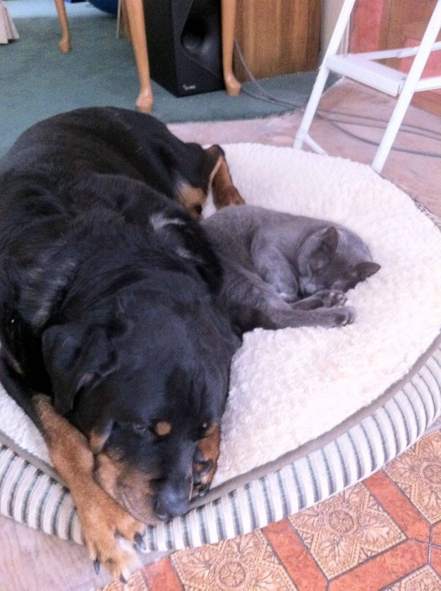 rottweiler with cat