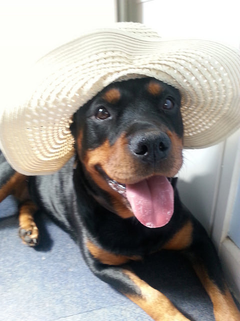 rottweiler with hat