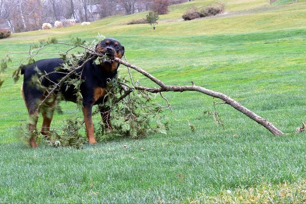 rottweiler with tree branch