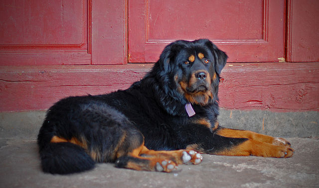 Different Types Of Rottweilers
