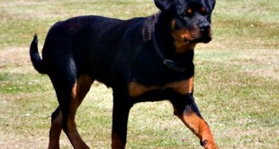 rottweiler age in human years