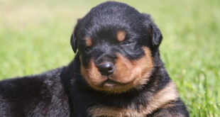 rottweiler crate training