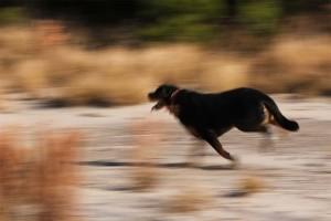 rottweiler-outdoor-activities