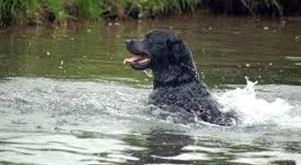 rottweiler saves boy from rushing stream