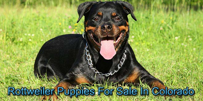 Rottweilers For Sale In Colorado