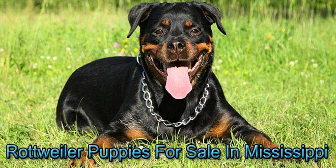 Rottweilers For Sale In Mississippi