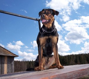 rottweiler best breed