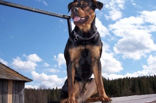 rottweiler best breed