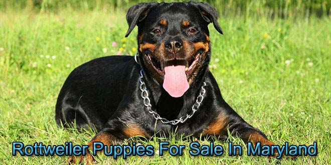 rottweiler puppies for sale in maryland