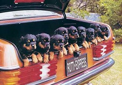 rottweiler car trip- in trunk