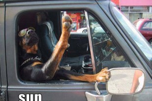 rottweiler car trip- safety tips