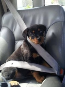 rottweiler car trip- seat belt