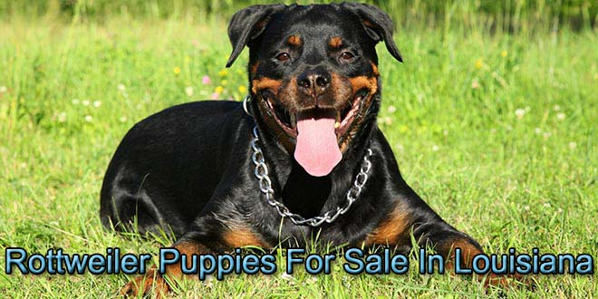 Rottweiler Puppies For Sale In Louisiana