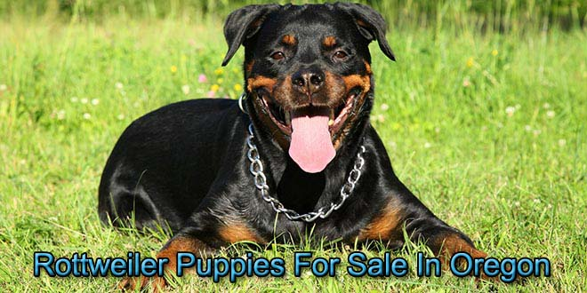 Rottweiler Puppies For Sale In Oregon