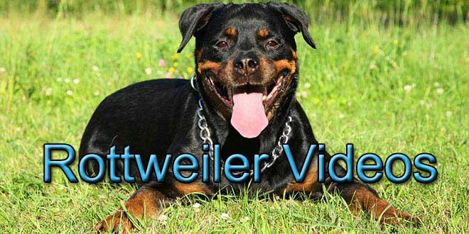 rottweiler videos