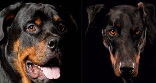 rottweiler vs doberman facts