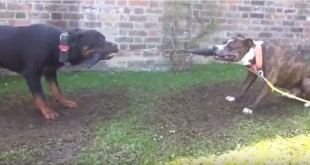 rottweiler vs pitbull tug of war