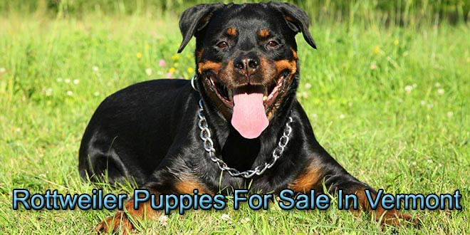 rottweiler puppies for sale in vermont